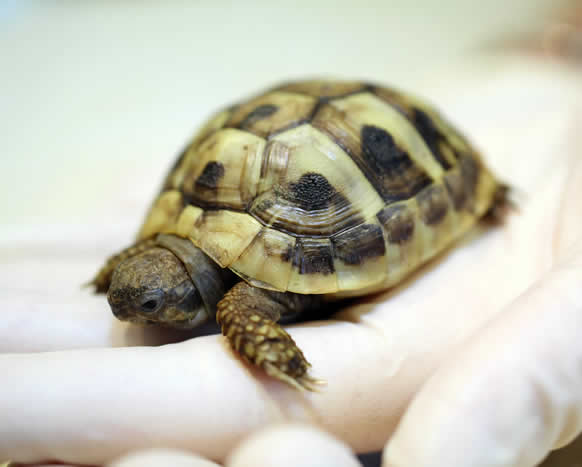 Baby tortoise Scott Veterinary Clinic