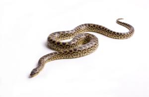 snake.fw