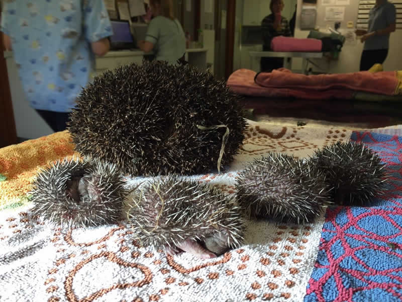 Baby hedgehogs brought into exotic vet at Scott Veterinary Clinic Bedford