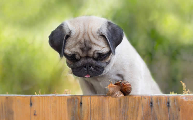 pug and snail