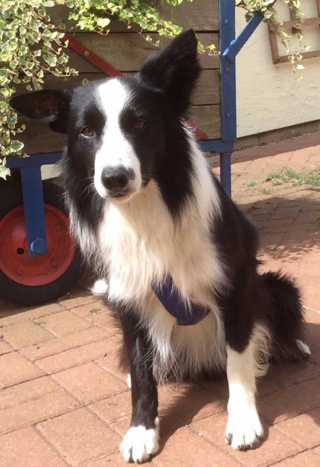 border collie at Scott Vets