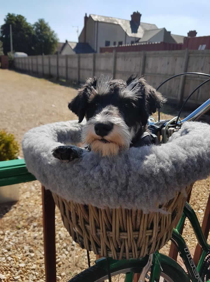 Schnauzer in bike basket at Wixams branch of Scott Vets